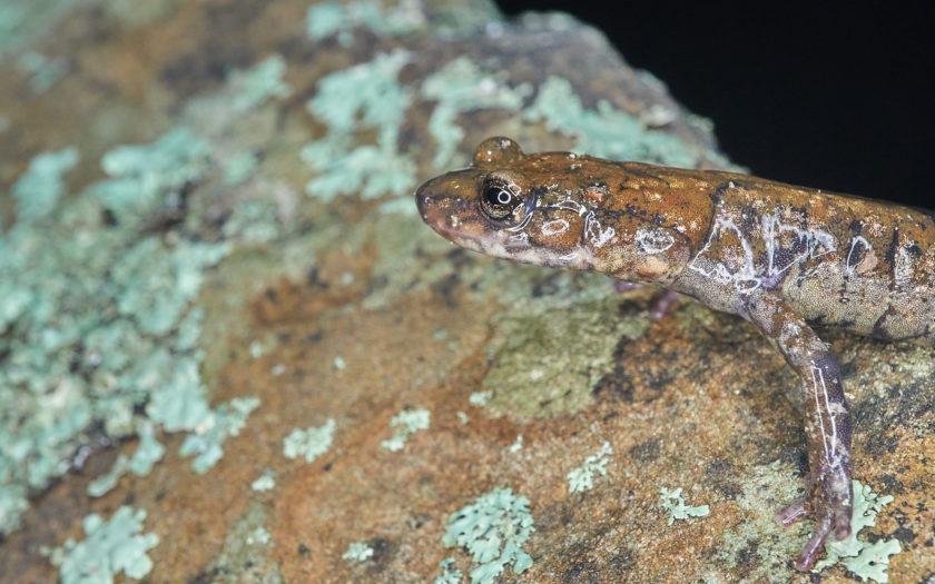 Plethodon petraeus